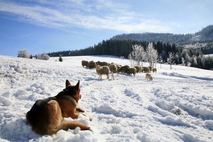 bigstock-Big-dog-guarding-herd-of-sheep-43461487