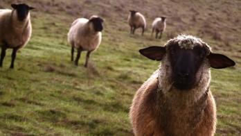 sheep-on-the-field-hd-wallpaper